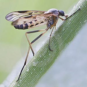 Snipe-fly (Rhagio Scolopaceus) Stock Photo - Image: 13956470