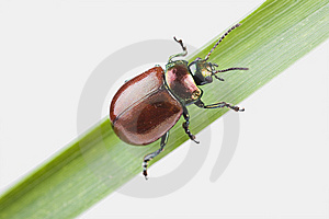 Knotgrass Leaf Beetle (Chrysolina Polita) Stock Photography - Image: 13956512