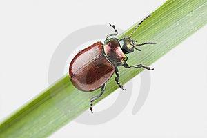 Knotgrass Leaf Beetle (Chrysolina Polita) Stock Photography - Image: 13956512