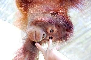 Orang Utan Stock Image - Image: 13957531