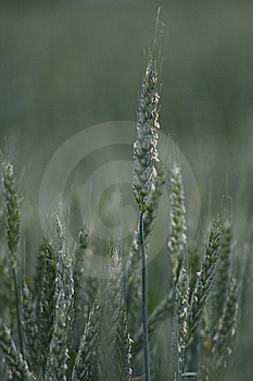 Close-up Of Cereal Plant Royalty Free Stock Photos - Image: 13957698