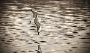 Gull Stock Photography - Image: 13958922