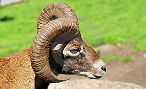 公羊 库存照片 - 图片: 13959190
