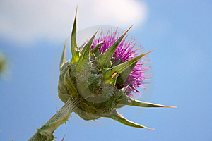 Purple Thorn Under Blue Sky Stock Images - Image: 13959894