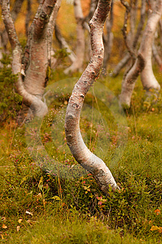 Mountain Birches Stock Photo - Image: 13960670