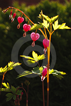 Heart Shape Flower Royalty Free Stock Photo - Image: 13961105