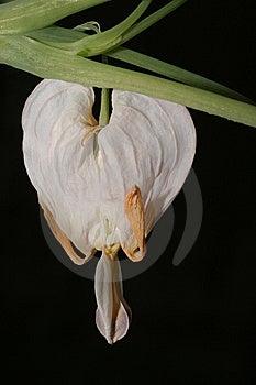 White Heart Flower Royalty Free Stock Photo - Image: 13961245