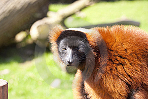 Red Ruffed Lemur Royalty Free Stock Photos - Image: 13963488