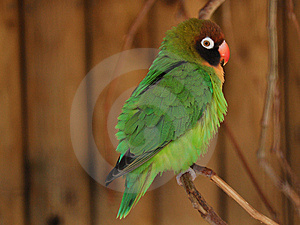 Petit Perroquet Vert - Lovebird, Agapornis Photo stock - Image: 13965120