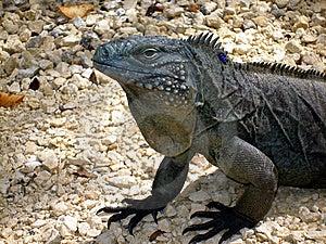 Endangered Blue Iguana Royalty Free Stock Photos - Image: 13965628