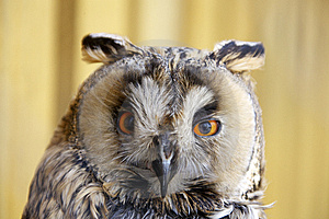 Long-eared Owl Stock Photo - Image: 13968290