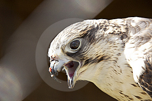 Golden Eagle Royalty Free Stock Image - Image: 13968586