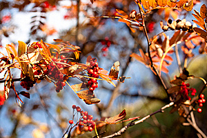 Golden Fall Ashberry Stock Images - Image: 13969304
