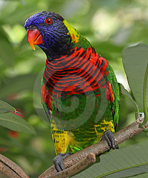 Rainbow Lory Royalty Free Stock Photo - Image: 13970585
