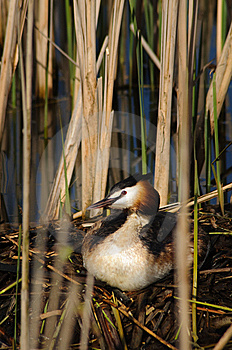 Crested Grebe On Nest Stock Photo - Image: 13971130