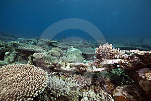 Table Coral In The Red Sea Stock Photos - Image: 13973683