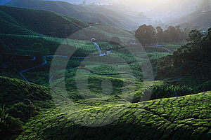 Tea Plantation Royalty Free Stock Photo - Image: 13974275