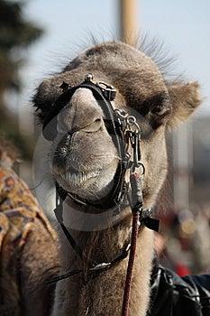 Camel Muzzle Royalty Free Stock Photo - Image: 13974675