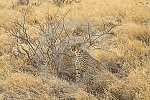Young Cheetah Stock Photos - Image: 13975703