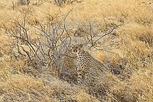Young Cheetah Stock Photos - Image: 13975703