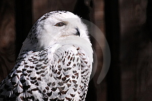 Snowy Owl (Bubo Scandiacus) Stock Photo - Image: 13976930