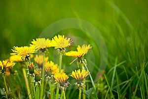Dandelions Stock Photos - Image: 13978003