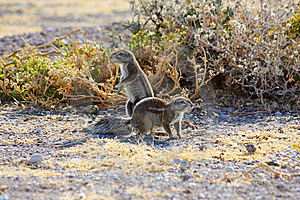 Cape Ground Squirrel (Xerus Inauris) Royalty Free Stock Photo - Image: 13980705