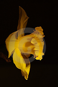 Close Up Of A Daffodil Royalty Free Stock Images - Image: 13981079