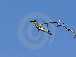 Bee-eater On Thorny Twig Stock Photo - Image: 13984910
