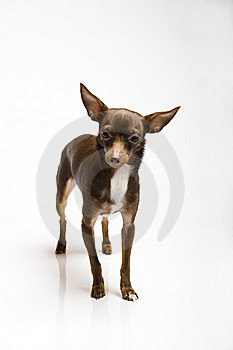 Funny Curious Toy Terrier Dog Looking Up Royalty Free Stock Image - Image: 13986446