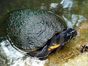 Mossy Turtle Takes A Dip Free Stock Photo