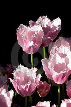 Tulips Free Stock Image