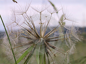 Dry Dandelion Stock Photography