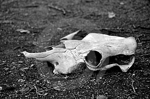 Bleached Animal Skull Free Stock Photos