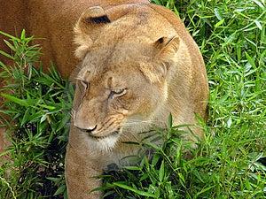 Lioness Free Stock Image
