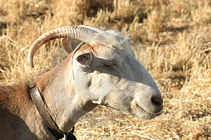 Crete / Goat Royalty Free Stock Photography