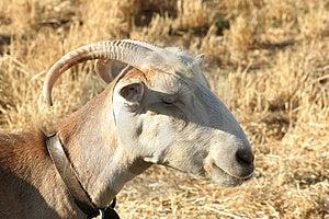 Crete / Goat Free Stock Photography