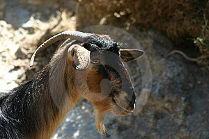 Crete / Goat Royalty Free Stock Photo