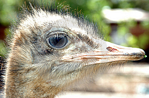 Ostrich 01 Free Stock Photos