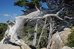 Pt Lobos Cypress Free Stock Photography