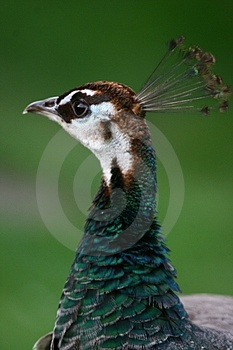 Peahen Royalty Free Stock Photography