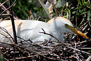American Egret Free Stock Photo