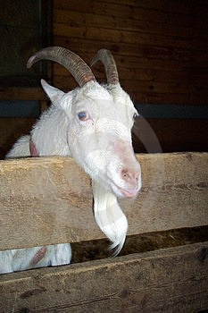 Old Goat Stock Photo