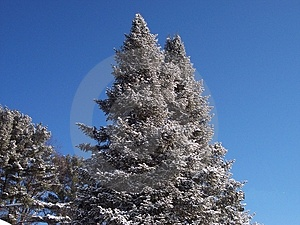 Snow Tipped Trees. Stock Photos