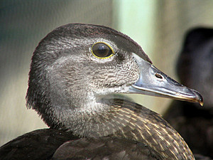 Portrait of a duck Stock Photography
