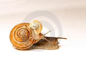 Two Snails Free Stock Photography