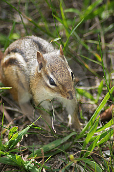 Chipmunk Free Stock Photos