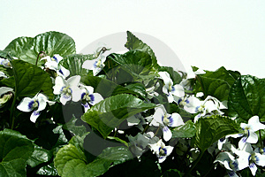 White Violets Free Stock Images