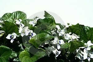 Violetas brancas Imagens de Stock Royalty Free