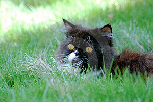 Cat In The Grass Free Stock Photography